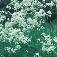 Plant form: Thalictrum pubescens. ~ By Albert Bussewitz. ~ Copyright © 2019 New England Wild Flower Society. ~ Image Request, images[at]newenglandwild.org
