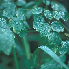 Leaves: Thalictrum pubescens. ~ By Frank Bramley. ~ Copyright © 2017 New England Wild Flower Society. ~ Image Request, images[at]newenglandwild.org
