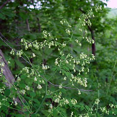 Flowers: Thalictrum revolutum. ~ By Arthur Haines. ~ Copyright © 2018. ~ arthurhaines[at]wildblue.net