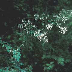 Plant form: Thalictrum revolutum. ~ By Lawrence Newcomb. ~ Copyright © 2018 New England Wild Flower Society. ~ Image Request, images[at]newenglandwild.org