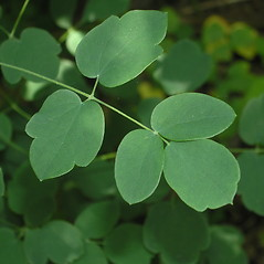 Leaves: Thalictrum revolutum. ~ By Bruce Patterson. ~ Copyright © 2018 Bruce Patterson. ~ foxpatterson[at]comcast.net