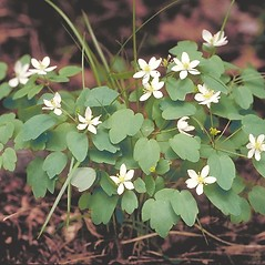 Plant form: Thalictrum thalictroides. ~ By Arieh Tal. ~ Copyright © 2020 Arieh Tal. ~ http://botphoto.com/ ~ Arieh Tal - botphoto.com