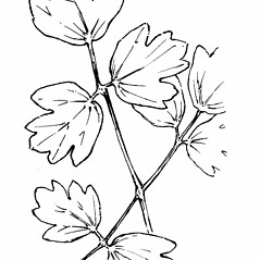 Leaves: Thalictrum venulosum. ~ By Gordon Morrison. ~ Copyright © 2017 New England Wild Flower Society. ~ Image Request, images[at]newenglandwild.org