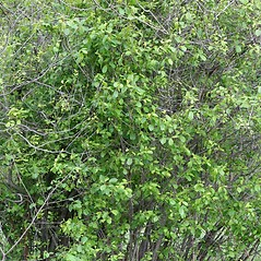 Plant form: Frangula alnus. ~ By Arieh Tal. ~ Copyright © 2017 Arieh Tal. ~ http://botphoto.com/ ~ Arieh Tal - botphoto.com