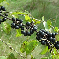Fruits: Rhamnus cathartica. ~ By Arthur Haines. ~ Copyright © 2020. ~ arthurhaines[at]wildblue.net