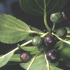 Fruits: Rhamnus cathartica. ~ By Adelaide Pratt. ~ Copyright © 2020 New England Wild Flower Society. ~ Image Request, images[at]newenglandwild.org