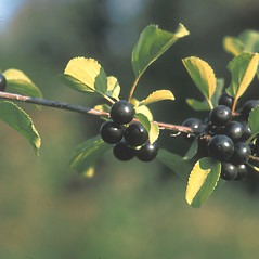 Fruits: Rhamnus cathartica. ~ By Jean Baxter. ~ Copyright © 2020 New England Wild Flower Society. ~ Image Request, images[at]newenglandwild.org