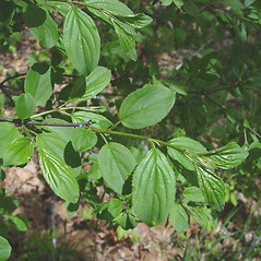 Leaves: Rhamnus cathartica. ~ By Donald Cameron. ~ Copyright © 2020 Donald Cameron. ~ No permission needed for non-commercial uses, with proper credit