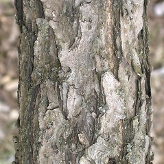 Bark: Rhamnus davurica. ~ By Bruce Patterson. ~ Copyright © 2018 Bruce Patterson. ~ foxpatterson[at]comcast.net