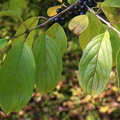Leaves: Rhamnus utilis. ~ By Anthony Reznicek. ~ Copyright © 2018 Anthony Reznicek. ~ No permission needed for non-commercial uses, with proper credit ~ U. of Michigan Herbarium - herbarium.lsa.umich.edu/