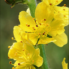 Flowers: Agrimonia eupatoria. ~ By Amadej Trnkoczy. ~ Copyright © 2017 Amadej Trnkoczy. ~ amadej.trnkoczy[at]siol.net ~ CalPhotos - calphotos.berkeley.edu/flora/