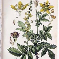 Plant form: Agrimonia eupatoria. ~ By Dietrich von Schlectendal. ~  Public Domain. ~  ~ Robert W. Freckmann Herbarium, U. of Wisconsin-Stevens Point