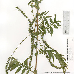 Plant form: Agrimonia parviflora. ~ By The Herbarium of The Morton Arboretum (MOR). ~ Copyright © 2018 The Morton Arboretum. ~ Ed Hedborn, The Morton Arboretum ~ The Herbarium of The Morton Arboretum
