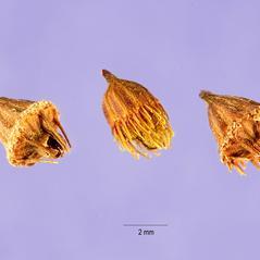 Fruits: Agrimonia pubescens. ~ By Tracey Slotta. ~  Public Domain. ~   ~ USDA-NRCS Plants Database - plants.usda.gov/java/
