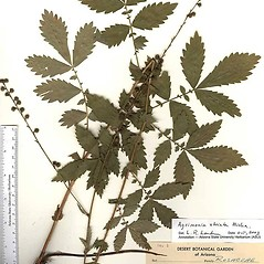 Leaves: Agrimonia striata. ~ By Arizona State Herbarium. ~ Copyright © 2017 Arizona State Herbarium. ~ Leslie Landrum, les.landrum[at]asu.edu ~ Southwest Environmental Information Network - swbiodiversity.org/seinet/imagelib/index.php