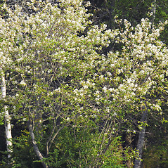 Plant form: Amelanchier arborea. ~ By William Cullina. ~ Copyright © 2017 William Cullina. ~ bill[at]williamcullina.com