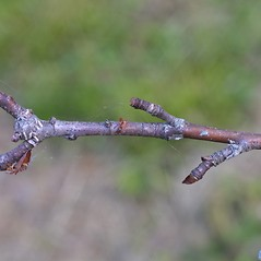 Winter buds: Amelanchier arborea. ~ By Steven Baskauf. ~ Copyright © 2017 CC-BY-NC-SA. ~  ~ Bioimages - www.cas.vanderbilt.edu/bioimages/frame.htm