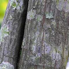 Bark: Amelanchier canadensis. ~ By Will Cook. ~ Copyright © 2017 Will Cook. ~ cwcook[at]duke.edu, carolinanature.com ~ North Carolina Plant Photos - www.carolinanature.com/plants/