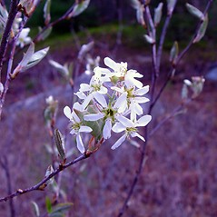 Flowers: Amelanchier canadensis. ~ By Arthur Haines. ~ Copyright © 2018. ~ arthurhaines[at]wildblue.net