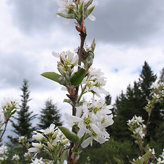 Flowers: Amelanchier canadensis. ~ By Marilee Lovit. ~ Copyright © 2019 Marilee Lovit. ~ lovitm[at]gmail.com
