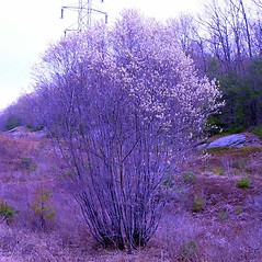 Plant form: Amelanchier canadensis. ~ By Arthur Haines. ~ Copyright © 2019. ~ arthurhaines[at]wildblue.net