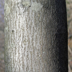 Bark: Amelanchier intermedia. ~ By Bruce Patterson. ~ Copyright © 2019 Bruce Patterson. ~ foxpatterson[at]comcast.net