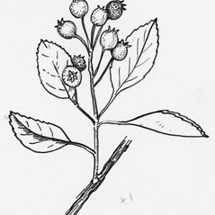 Fruits: Amelanchier nantucketensis. ~ By Tess Feltes. ~  Public Domain. ~  ~ U. of New Hampshire