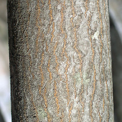 Bark: Amelanchier sanguinea. ~ By Bruce Patterson. ~ Copyright © 2017 Bruce Patterson. ~ foxpatterson[at]comcast.net