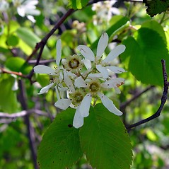 Flowers: Amelanchier sanguinea. ~ By Arthur Haines. ~ Copyright © 2017. ~ arthurhaines[at]wildblue.net