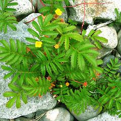 Plant form: Argentina egedii. ~ By Donna Kausen. ~ Copyright © 2017 Donna Kausen. ~ 33 Bears Den, Addison, ME 04606