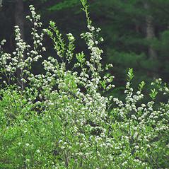 Plant form: Aronia arbutifolia. ~ By William Cullina. ~ Copyright © 2018 William Cullina. ~ bill[at]williamcullina.com