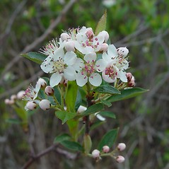 Flowers: Aronia floribunda. ~ By Arthur Haines. ~ Copyright © 2019. ~ arthurhaines[at]wildblue.net