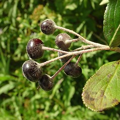 Fruits: Aronia floribunda. ~ By Arthur Haines. ~ Copyright © 2019. ~ arthurhaines[at]wildblue.net