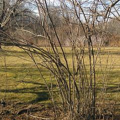 Plant form: Aronia floribunda. ~ By Bruce Patterson. ~ Copyright © 2018 Bruce Patterson. ~ foxpatterson[at]comcast.net