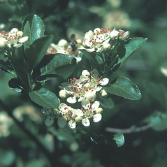 Flowers: Aronia melanocarpa. ~ By Jean Baxter. ~ Copyright © 2018 New England Wild Flower Society. ~ Image Request, images[at]newenglandwild.org