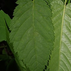 Leaves: Aruncus dioicus. ~ By Steven Baskauf. ~ Copyright © 2020 CC-BY-NC-SA. ~  ~ Bioimages - www.cas.vanderbilt.edu/bioimages/frame.htm