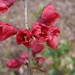 Flowers: Chaenomeles japonica. ~ By Arnold Arboretum. ~ Copyright © 2020 Arnold Arboretum. ~ Arnold Arboretum Horticultural Library, hortlib[at]arnarb.harvard.edu