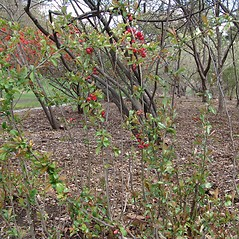 Plant form: Chaenomeles japonica. ~ By Arnold Arboretum. ~ Copyright © 2019 Arnold Arboretum. ~ Arnold Arboretum Horticultural Library, hortlib[at]arnarb.harvard.edu