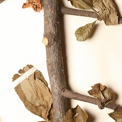 Bark: Chaenomeles speciosa. ~ By Harvard University Herbaria. ~ Copyright © 2018 Harvard University Herbaria. ~ Requests for image use not currently accepted by copyright holder ~ Harvard U. Herbaria