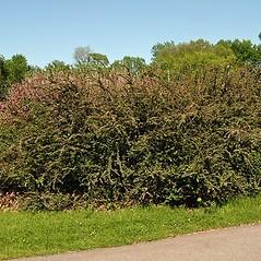 Plant form: Cotoneaster divaricatus. ~ By Paul S. Drobot. ~ Copyright © 2018 Paul S. Drobot. ~ www.plantstogrow.com, www.plantstockphotos.com ~ Robert W. Freckmann Herbarium, U. of Wisconsin-Stevens Point