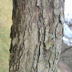 Bark: Crataegus asperifolia. ~ By Bruce Patterson. ~ Copyright © 2018 Bruce Patterson. ~ foxpatterson[at]comcast.net