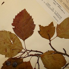 Leaves: Crataegus asperifolia. ~ By Arthur Haines. ~ Copyright © 2017. ~ arthurhaines[at]wildblue.net