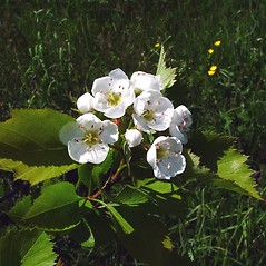 Flowers: Crataegus bicknellii. ~ By Arthur Haines. ~ Copyright © 2020. ~ arthurhaines[at]wildblue.net