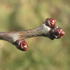 Winter buds: Crataegus bicknellii. ~ By Bruce Patterson. ~ Copyright © 2019 Bruce Patterson. ~ foxpatterson[at]comcast.net