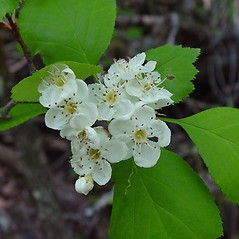 Flowers: Crataegus brainerdii. ~ By Arthur Haines. ~ Copyright © 2020. ~ arthurhaines[at]wildblue.net