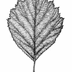 Leaves: Crataegus chrysocarpa. ~ By Elizabeth Farnsworth. ~ Copyright © 2017 New England Wild Flower Society. ~ Image Request, images[at]newenglandwild.org