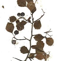 Plant form: Crataegus chrysocarpa. ~ By Missouri Botanical Garden. ~ Copyright © 2020 CC-BY-NC-SA. ~  ~ Tropicos, Missouri Botanical Garden - www.tropicos.org