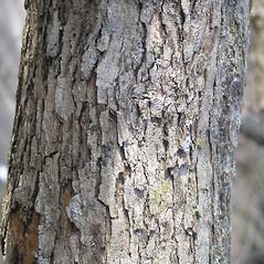 Bark: Crataegus coccinea. ~ By Bruce Patterson. ~ Copyright © 2018 Bruce Patterson. ~ foxpatterson[at]comcast.net