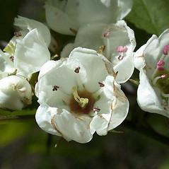 Flowers: Crataegus coccinea. ~ By Andrew Nelson. ~ Copyright © 2018 Andrew Nelson. ~ andrew.nelson[at]oswego.edu   ~ Flora of Rice Creek Field Station - www.oswego.edu/academics/opportunities/rice_creek_field_station