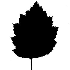 Leaves: Crataegus coccinea. ~ By Arthur Haines. ~ Copyright © 2020. ~ arthurhaines[at]wildblue.net